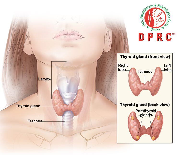 Normal Thyroid Gland(AP vew)